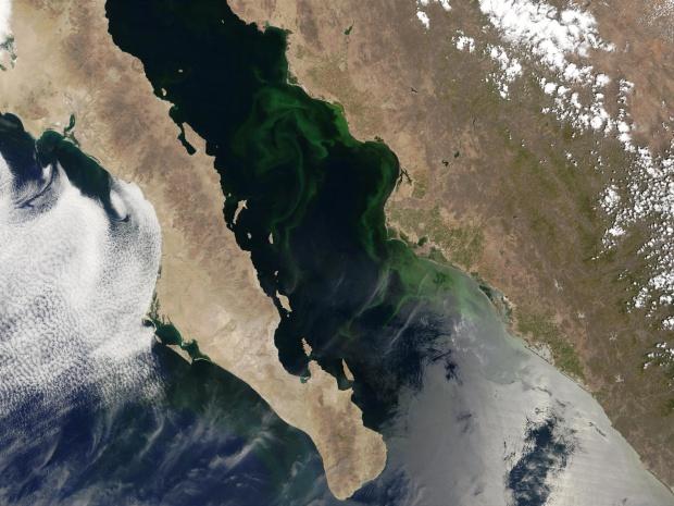 Proliferación de fitoplancton en el Golfo de California, México